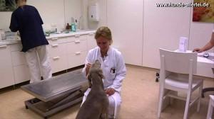 """Tierärztin Dr. Fumi und Maya Weimaraner """"Braves Mädchen!"""""""